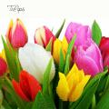 Kytica Tulips